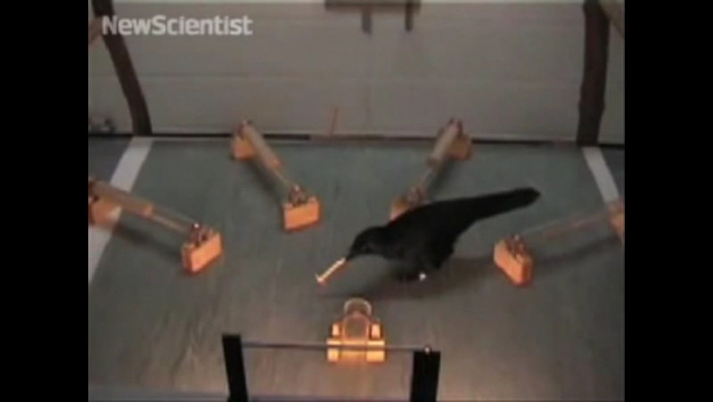 Image credit: Dr. Jo Wimpenny & Prof. Alex Kacelnik of University of Oxford via NewScientist (video screenshot)